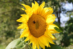Bumblbee on sunflower Stock Photos