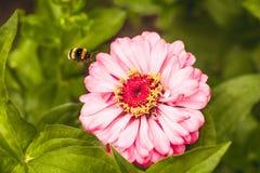 Bumble è mosca Fotografia Stock