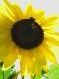 bumble ήλιος Τοσκάνη μελισσών Στοκ Εικόνα