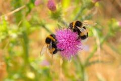 bumble θερινός χρόνος μελισσών Στοκ Εικόνες