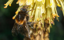 bumble λουλούδι μελισσών κίτρ Στοκ εικόνες με δικαίωμα ελεύθερης χρήσης