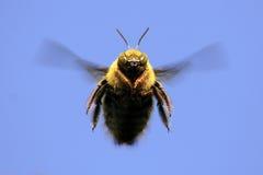 bumble πέταγμα ξυλουργών μελισσών Στοκ εικόνα με δικαίωμα ελεύθερης χρήσης
