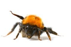 bumble χορός μελισσών Στοκ εικόνα με δικαίωμα ελεύθερης χρήσης