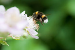 Bumble a abelha Imagens de Stock