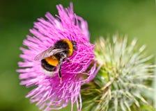 Bumble a abelha fotos de stock