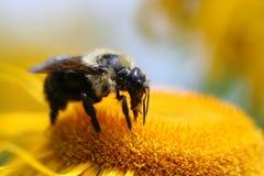 Bumble a abelha Imagens de Stock Royalty Free