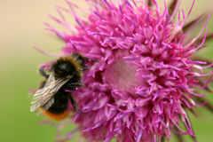 Bumble a abelha & o Thistle Fotografia de Stock