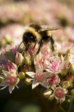 Bumble a abelha em flores fotos de stock royalty free