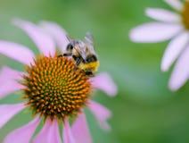 Bumble a abelha em uma flor imagem de stock