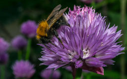 Bumble a abelha em uma flor roxa Foto de Stock Royalty Free
