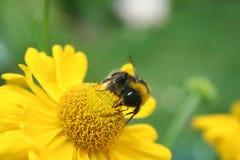 Bumble a abelha na flor amarela Foto de Stock