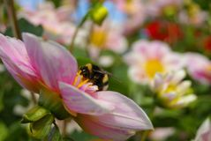 Bumble a abelha na flor cor-de-rosa Fotografia de Stock Royalty Free