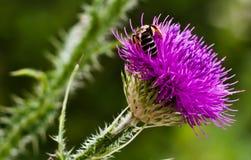 Bumble a abelha na flor da mola Imagem de Stock Royalty Free