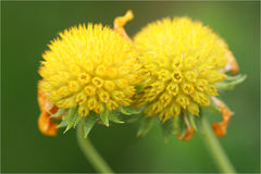 Bumble a abelha que coleta o pólen Imagem de Stock