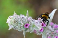 Bumble a abelha que coleta o pólen Imagem de Stock Royalty Free