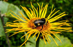 Bumble-bee από το $cu στοκ φωτογραφίες