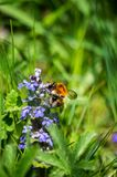 Bumble-bee γύρω από τον μπλε χρόνο άνοιξη λουλουδιών Στοκ Εικόνα