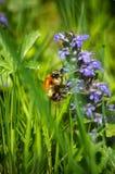 Bumble-bee γύρω από τον μπλε χρόνο 3 άνοιξη λουλουδιών στοκ εικόνες