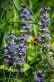 Bumble-bee γύρω από τον μπλε χρόνο 2 άνοιξη λουλουδιών στοκ φωτογραφία με δικαίωμα ελεύθερης χρήσης