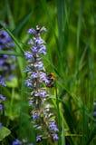 Bumble-bee γύρω από τον μπλε χρόνο 4 άνοιξη λουλουδιών στοκ εικόνες