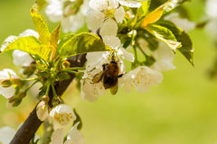 Bumble-bee επικονιάζει το λουλούδι κερασιών στοκ εικόνα με δικαίωμα ελεύθερης χρήσης