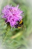 Bumble-bee θερινού χρόνου Στοκ φωτογραφία με δικαίωμα ελεύθερης χρήσης