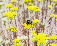 Bumble-bee και κίτρινα λουλούδια sedum, πανίδα και χλωρίδα στοκ φωτογραφία