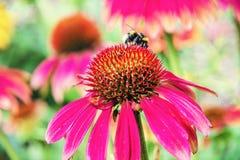Bumble-bee και κόκκινα λουλούδια rudbeckia, αναδρομικό φίλτρο στοκ εικόνες