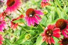Bumble-bee και κόκκινα λουλούδια rudbeckia στον κήπο, δονούμενο colo στοκ εικόνα με δικαίωμα ελεύθερης χρήσης