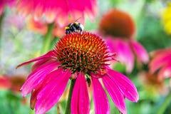 Bumble-bee και κόκκινα λουλούδια rudbeckia στο θερινό κήπο Στοκ εικόνα με δικαίωμα ελεύθερης χρήσης