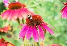 Bumble-bee και κόκκινα λουλούδια rudbeckia στο θερινό κήπο, natur στοκ εικόνα με δικαίωμα ελεύθερης χρήσης