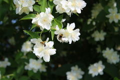 Bumble-bee και μέλισσα στο θάμνο jasmin στοκ φωτογραφία