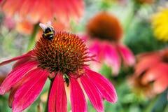 Bumble-bee και τα κόκκινα λουλούδια rudbeckia στον κήπο, φυσικό Στοκ Φωτογραφίες
