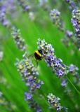 Bumble-bee μεταξύ των λουλουδιών Levander Στοκ φωτογραφία με δικαίωμα ελεύθερης χρήσης