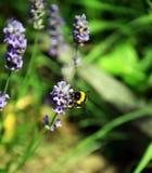 Bumble-bee μεταξύ των λουλουδιών Levander Στοκ Εικόνα