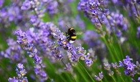 Bumble-bee μεταξύ των λουλουδιών Levander Στοκ Εικόνες