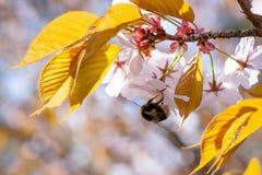 Bumble-bee λουλούδια ενός στα ρόδινα sakura στοκ φωτογραφίες