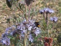 Bumble-bee που ψάχνει το νέκταρ στοκ φωτογραφία