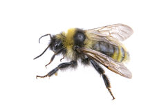 Bumble-bee σε ένα άσπρο υπόβαθρο Στοκ Φωτογραφίες