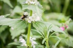 Bumble-bee σε ένα λουλούδι Στοκ Εικόνες