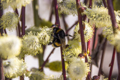 Bumble-bee στην ανθίζοντας ιτιά Στοκ Εικόνες