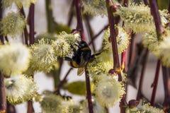 Bumble-bee στην ανθίζοντας ιτιά Στοκ Εικόνα