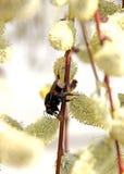 Bumble-bee στην ανθίζοντας ιτιά Στοκ Φωτογραφία