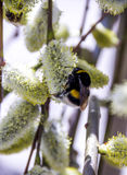 Bumble-bee στην ανθίζοντας ιτιά στοκ φωτογραφίες