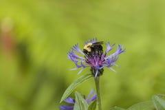 Bumble-Bee στο λουλούδι Στοκ φωτογραφία με δικαίωμα ελεύθερης χρήσης