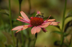 Bumble-bee στο ρόδινο λουλούδι Στοκ Φωτογραφία