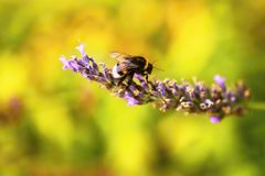 Bumble-bee στο lavander στο χρυσό μουτζουρωμένο υπόβαθρο Στοκ Φωτογραφίες