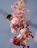 Bumble-bee στο sakura άνθησης Στοκ Εικόνες