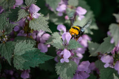 Bumble-bee συνεδρίαση στα λουλούδια Κινηματογράφηση σε πρώτο πλάνο με μια μέλισσα μέσα στο SUMM στοκ εικόνες