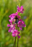 Bumble-bee συνεδρίαση στο άγριο λουλούδι στοκ εικόνα